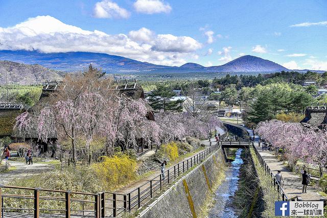 富士河口湖櫻花祭+河口湖北岸櫻花(2019櫻花祭時間)