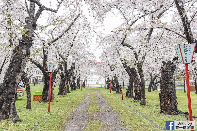 北海道道南賞櫻-青葉丘公園櫻花(1000株美麗櫻花)