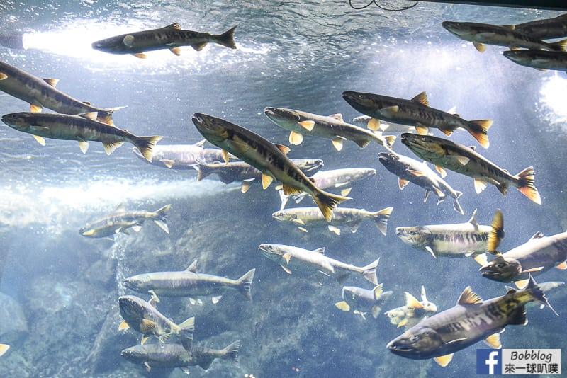 Salmon Hometown Chitose Aquarium 14