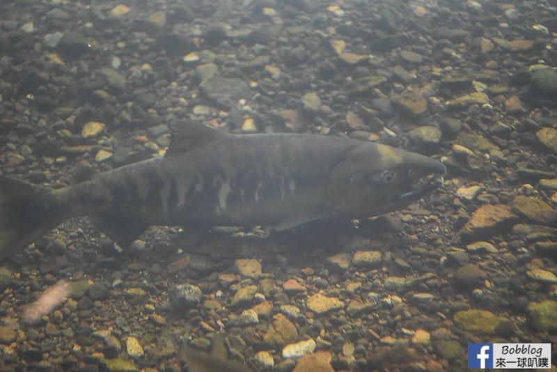 Salmon Hometown Chitose Aquarium 36