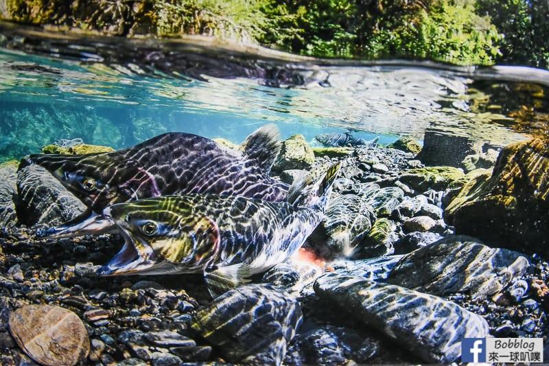 Salmon Hometown Chitose Aquarium 37