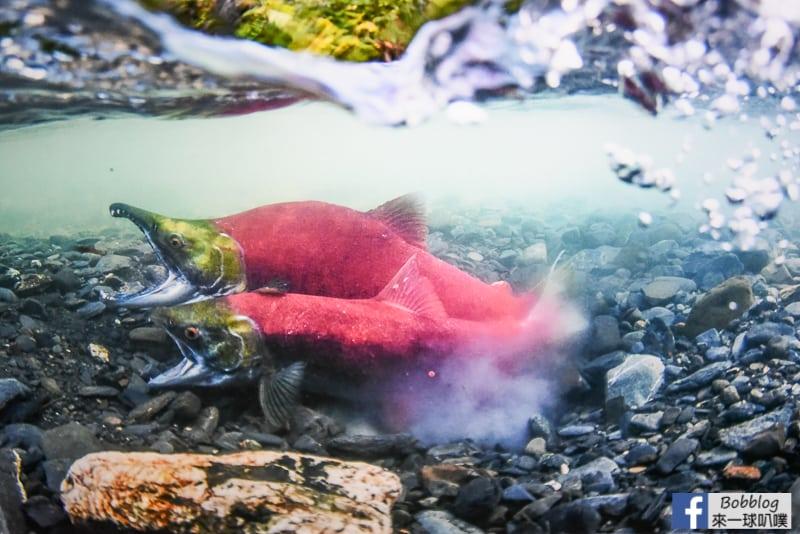 Salmon Hometown Chitose Aquarium 38