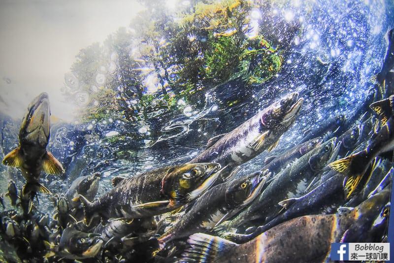Salmon Hometown Chitose Aquarium 39
