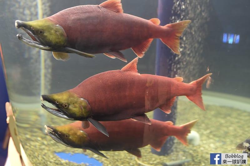 Salmon Hometown Chitose Aquarium 9
