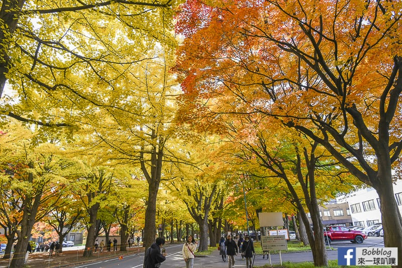 Sapporo-University-Ginkgo-Tree-16