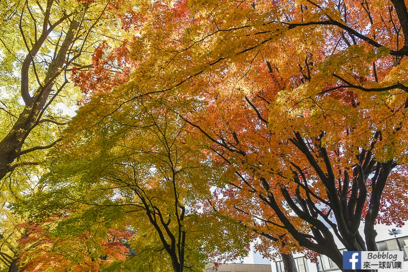 Sapporo-University-Ginkgo-Tree-20