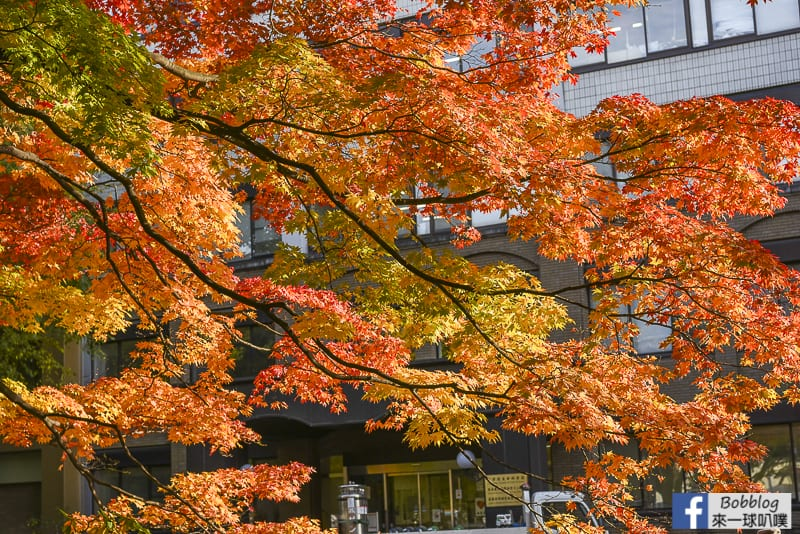 Sapporo-University-Ginkgo-Tree-22