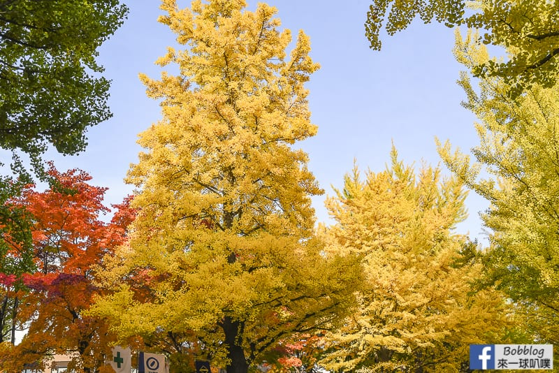 Sapporo-University-Ginkgo-Tree-30