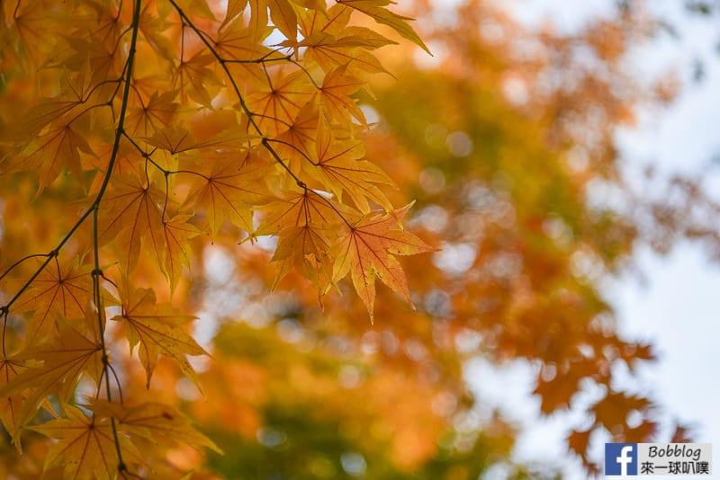 Sapporo-University-Ginkgo-Tree-31