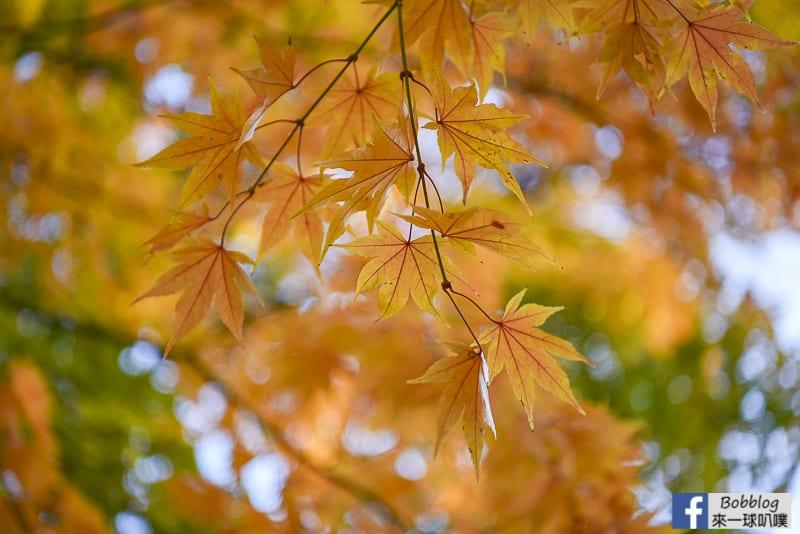 Sapporo-University-Ginkgo-Tree-32