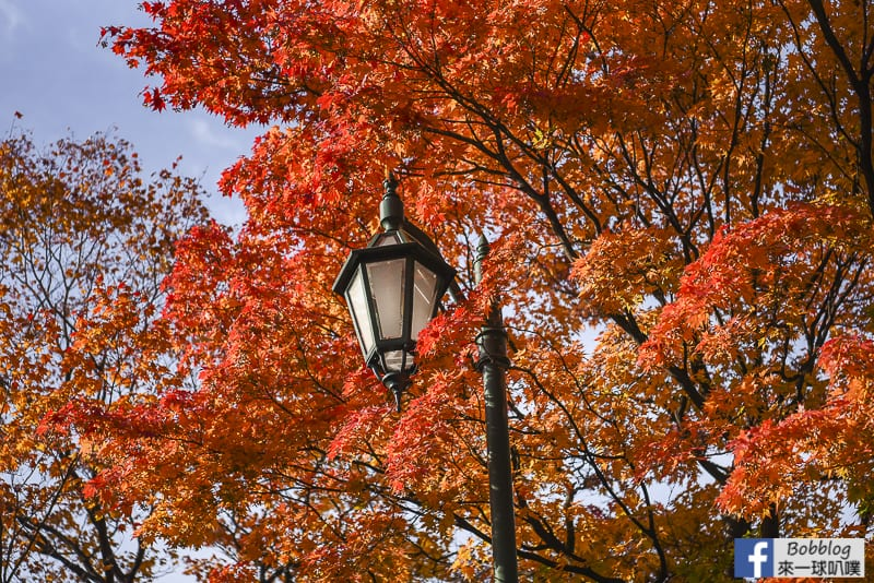 Sapporo-University-Ginkgo-Tree-4