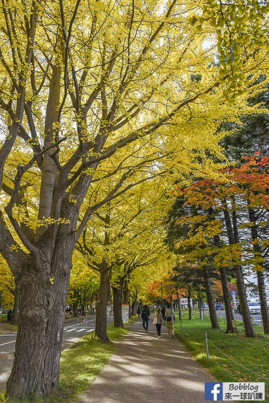 Sapporo-University-Ginkgo-Tree-5