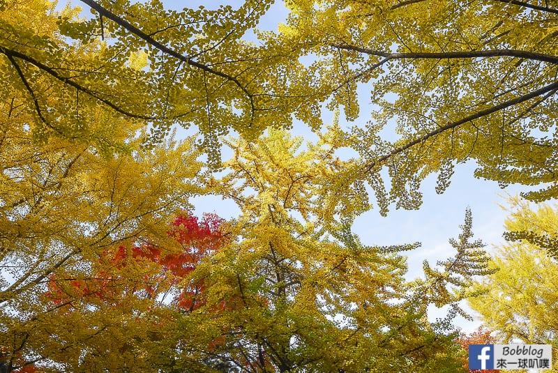 Sapporo-University-Ginkgo-Tree-51