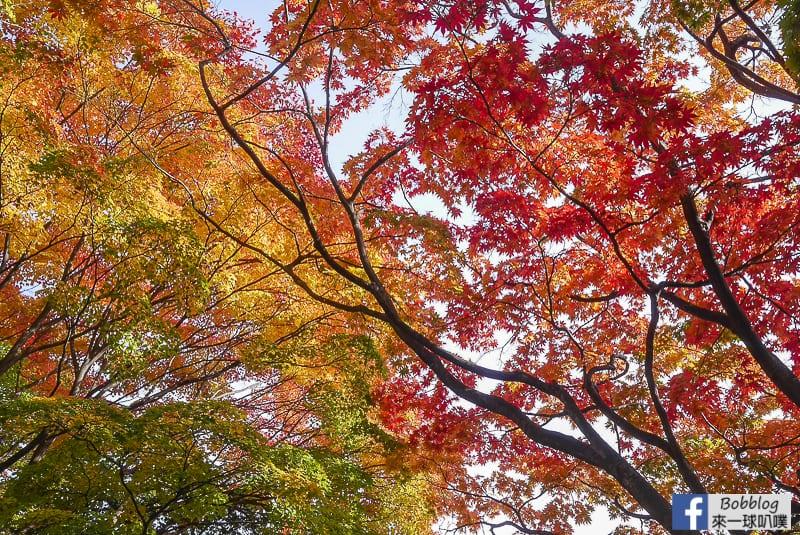 Sapporo-University-Ginkgo-Tree-53