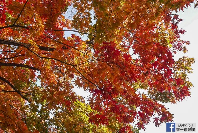 Sapporo-University-Ginkgo-Tree-54