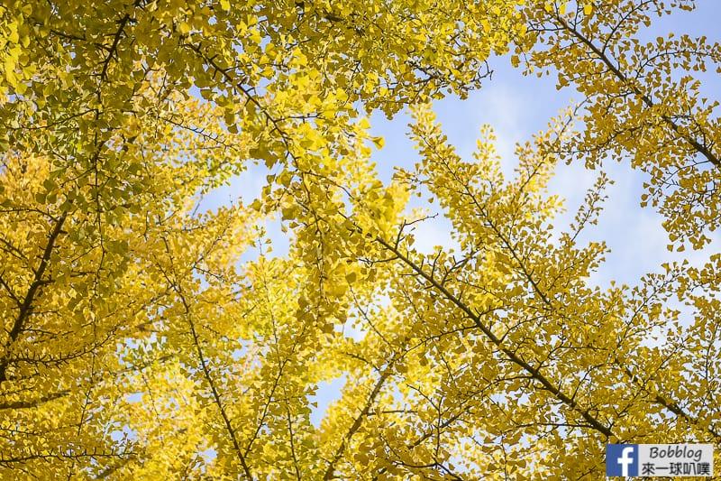 Sapporo-University-Ginkgo-Tree-9