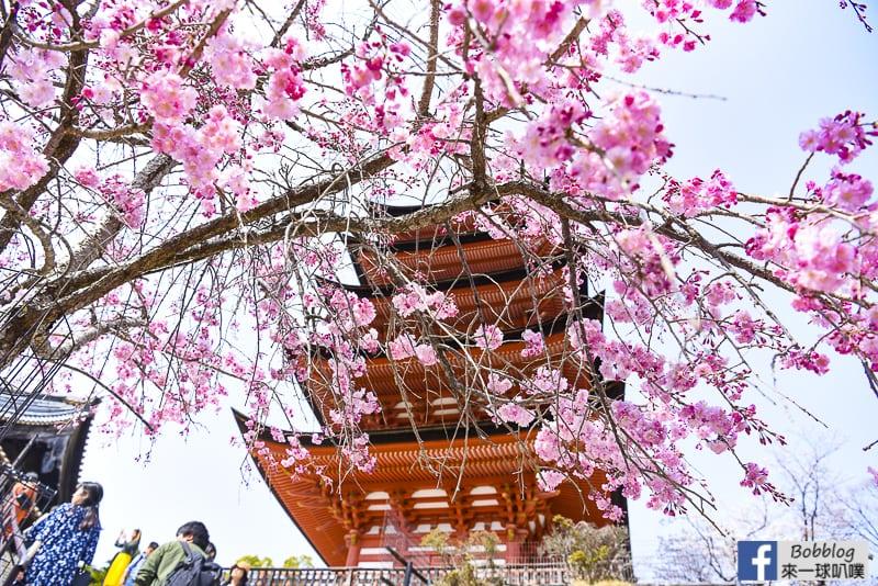 itsukushima sakura-11