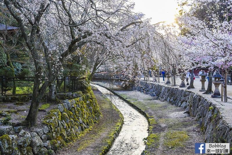 itsukushima sakura-18
