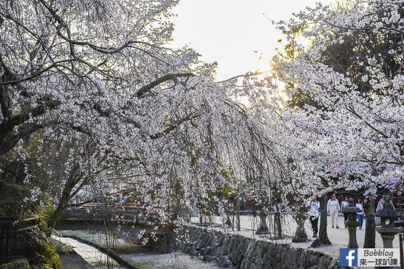 itsukushima sakura-19