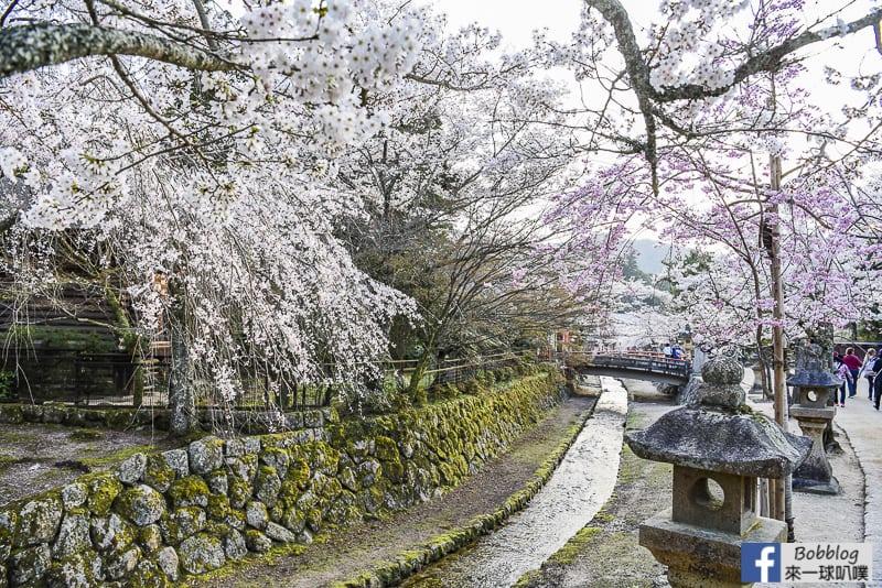 itsukushima sakura-20