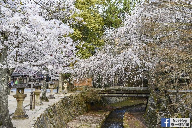 itsukushima sakura-22