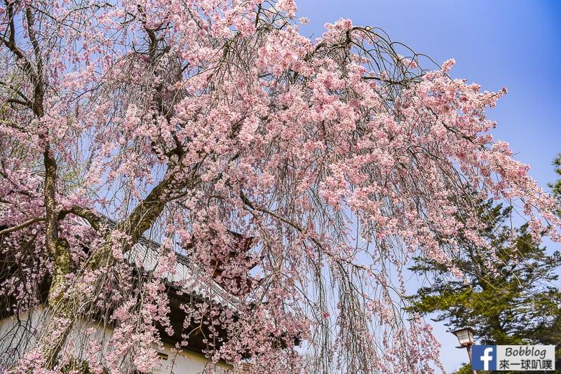itsukushima sakura-7