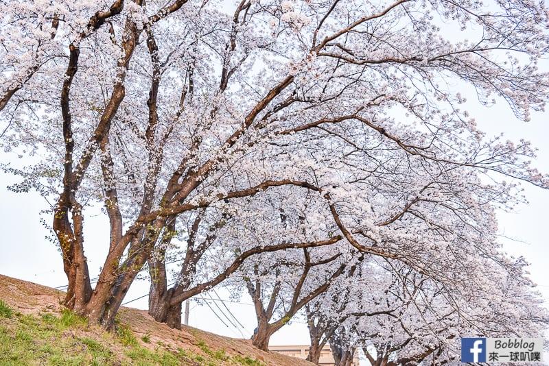 Asahi-River-Sakura-Road-12