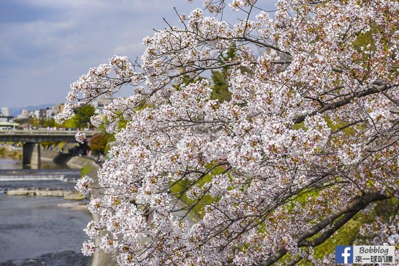 京都鴨川散步,京都鴨川櫻花行程(散步在鴨川櫻花大道)