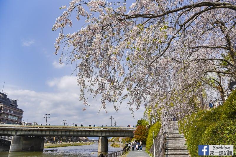 Kamogawa River sakura-8