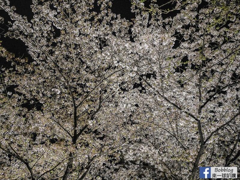 Takasegawa-night-sakura-26