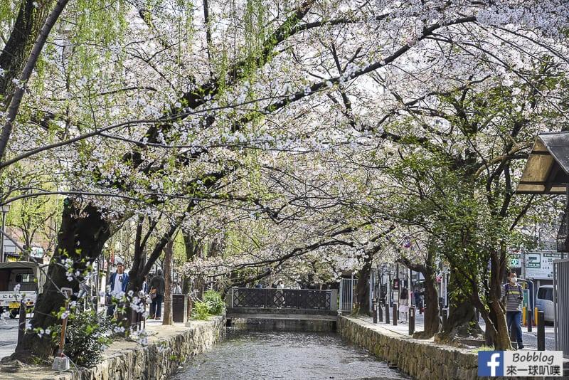 Takasegawa-sakura-3
