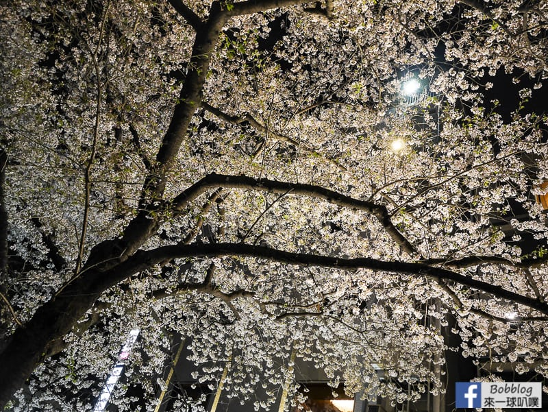 Tatsumi-Bridge-sakura-7