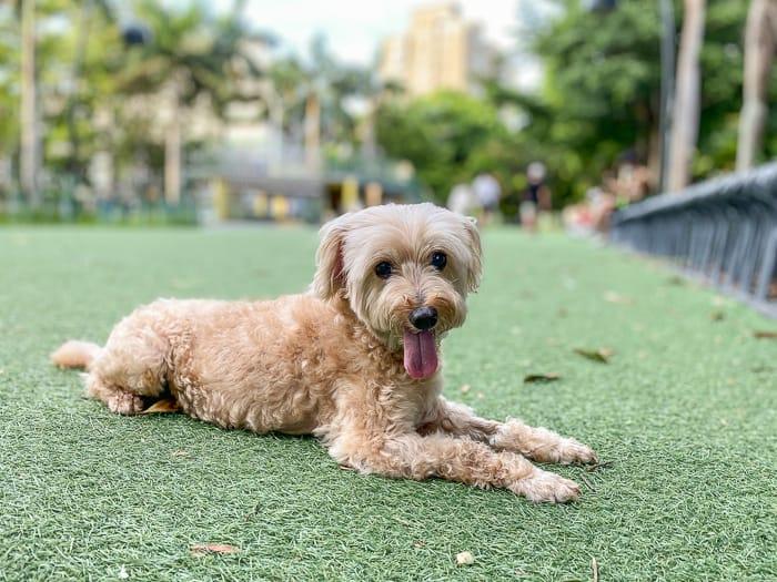 延伸閱讀:新竹遛狗景點|中央公園(遛狗,帶小朋友來玩溜滑梯盪鞦韆)