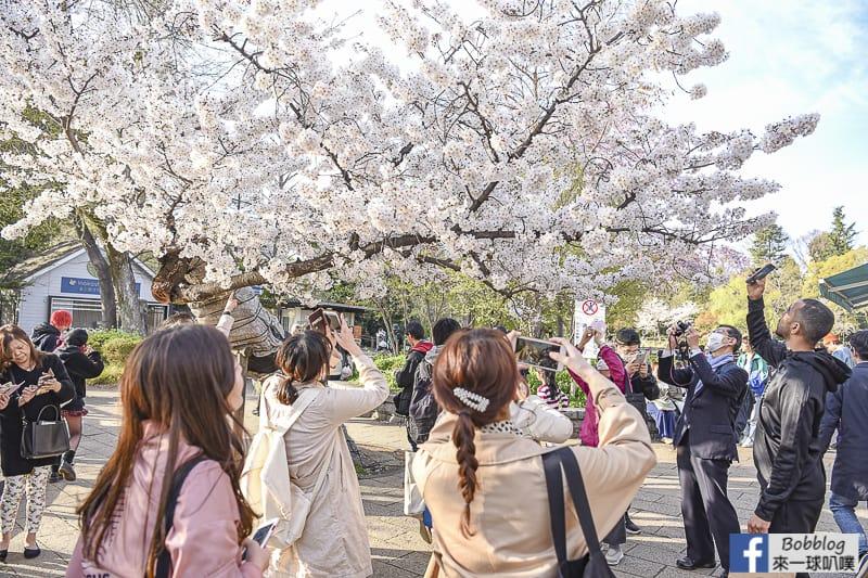 Inokashira Onshi Park sakura 13