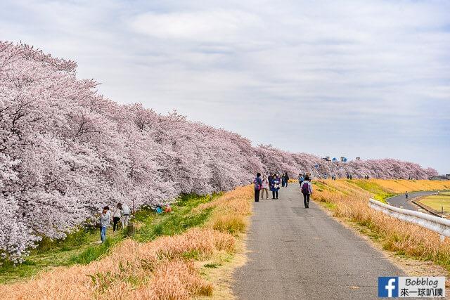 埼玉賞櫻-熊谷櫻堤(2Km超美櫻花道,日本櫻花百選,交通)