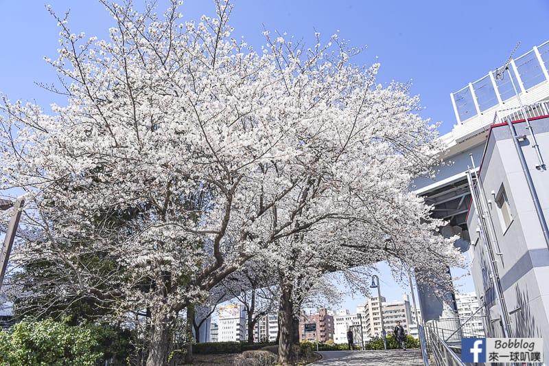 Sumida gawa sakura 40