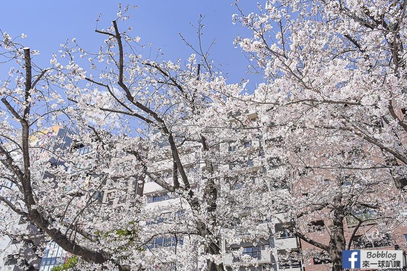Sumida gawa sakura 52