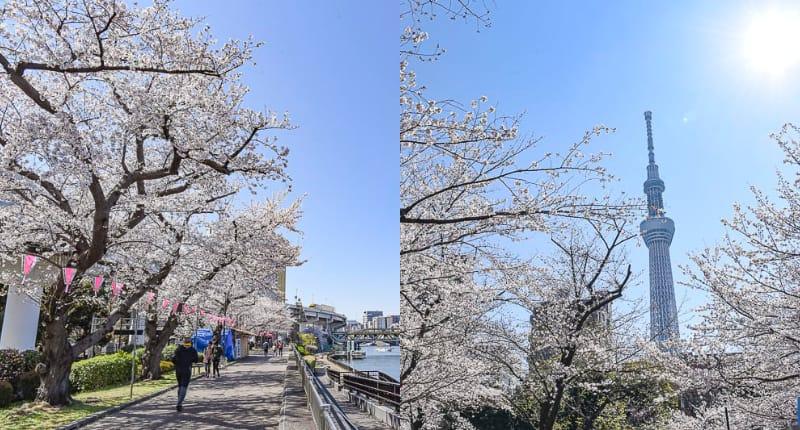 東京淺草賞櫻半日遊行程-淺草寺櫻花,仲見世通櫻花