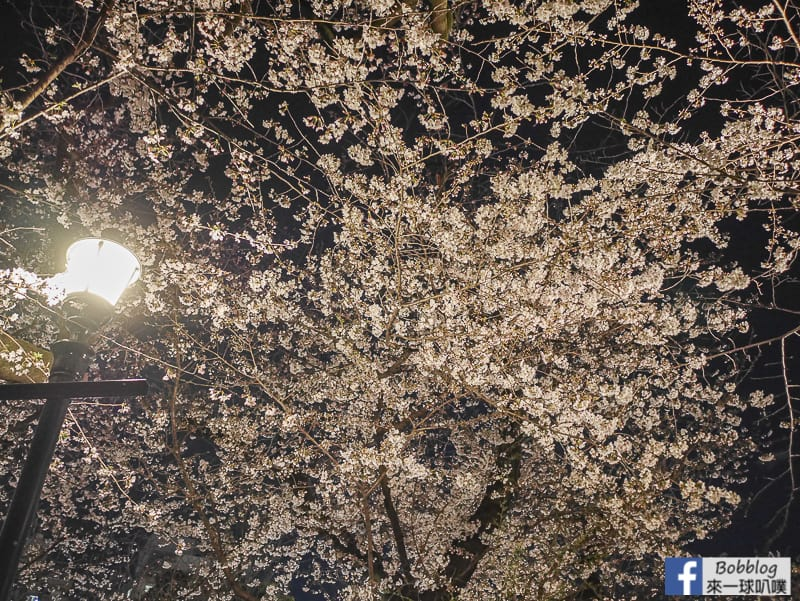 Yasukuni Shrine night sakura 7