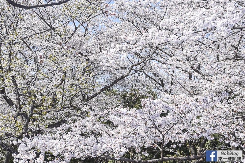 Yoyogi Park sakura 13