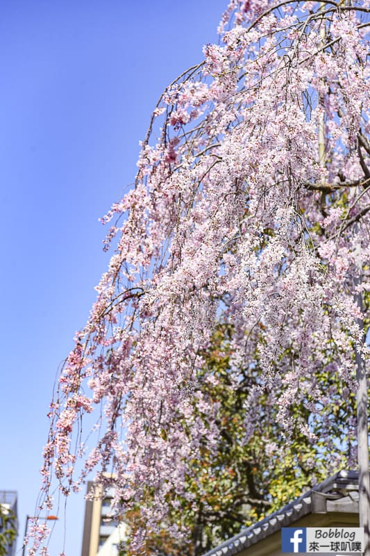 Asakusa sakura 17