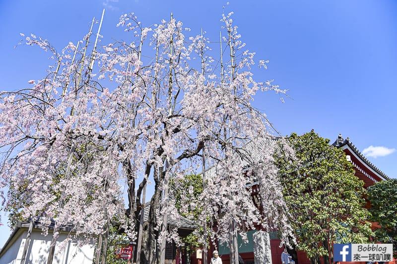 Asakusa sakura 18