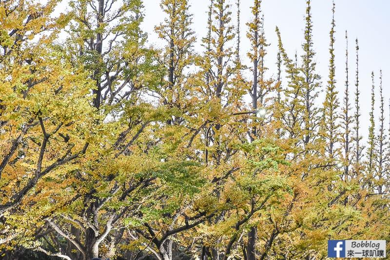 Meijijingu gaien ginkgo tree 29
