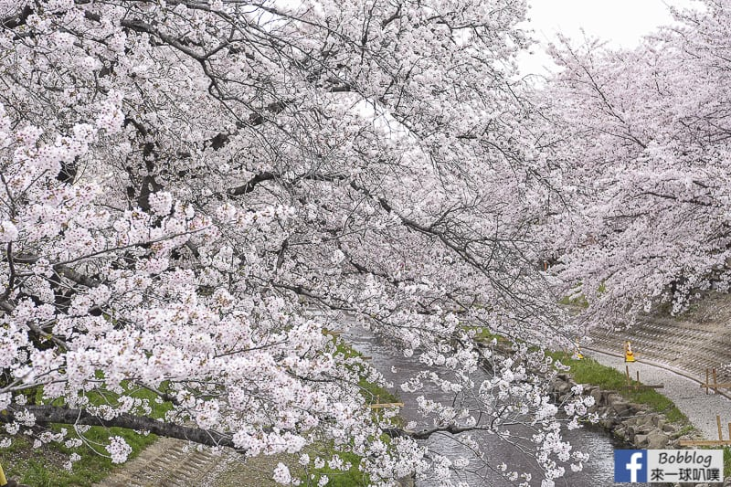 Moto arakawa river Sakura 10