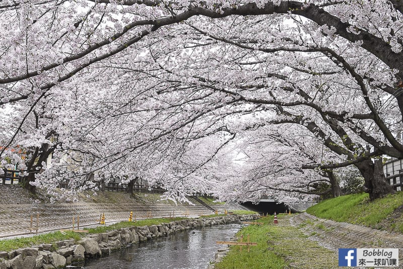 Moto arakawa river Sakura 14