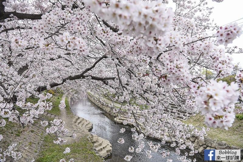Moto arakawa river Sakura 19