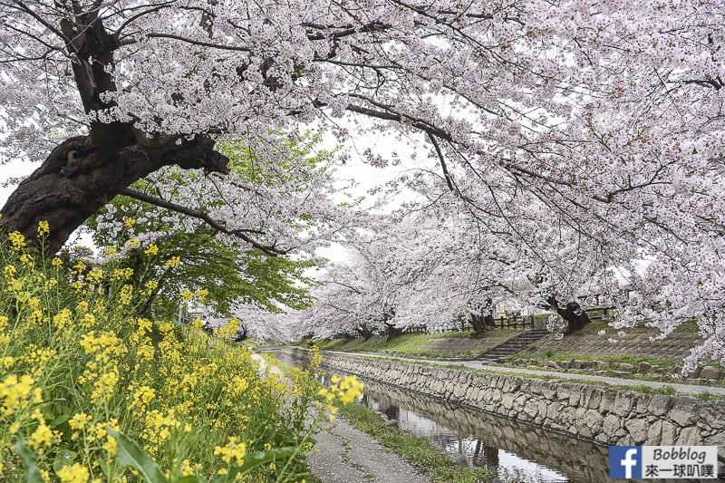 Moto arakawa river Sakura 24
