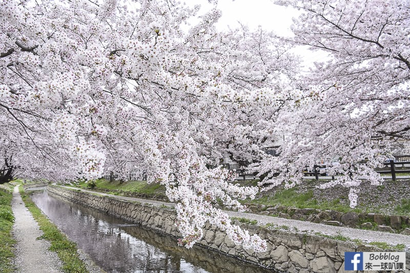 Moto arakawa river Sakura 25