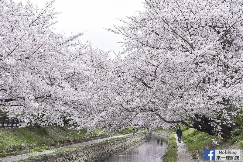 Moto arakawa river Sakura 26