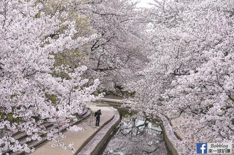 埼玉縣鴻巢市賞櫻-元荒川櫻花並木(3.5km無止境的櫻花大道!)